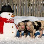 Tradiția tăierii porcului de Crăciun la români – obicei tradițional sau exces culinar?